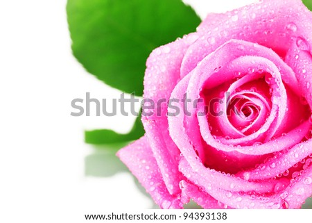 Pink rose with water droplets closeup