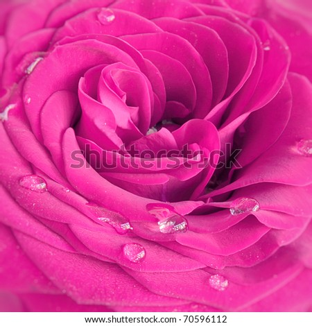 Pink rose with water drops close up