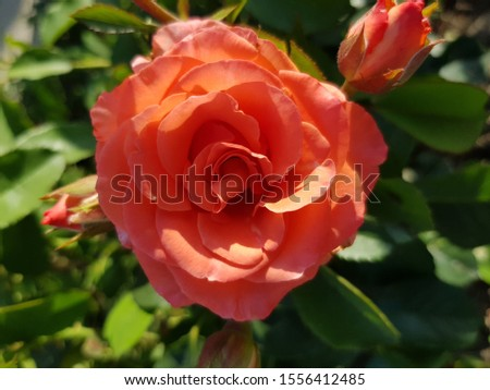 Pink rosebud almost opened in green leaves (top view) #1556412485