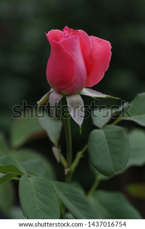 Pink rosebud beginning to bloom on green background #1437016754