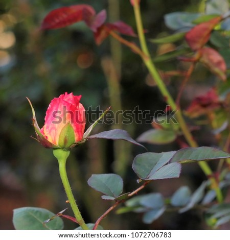 Pink Rosebud in Garden - Close up photograph of a delicate pink rosebud in a garden with a background of softly blurred greenery.  Selective focus on the rosebud.  #1072706783