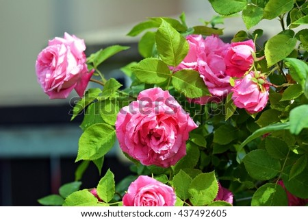 Pink roses #437492605