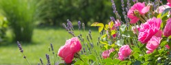 pink roses and lavender in a neat garden