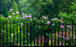 Pink roses and vines blooming along an iron fence on the grounds of Blarney Castle, Ireland
