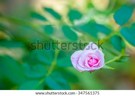 Free photos Pink roses are a beautiful representation of sweet