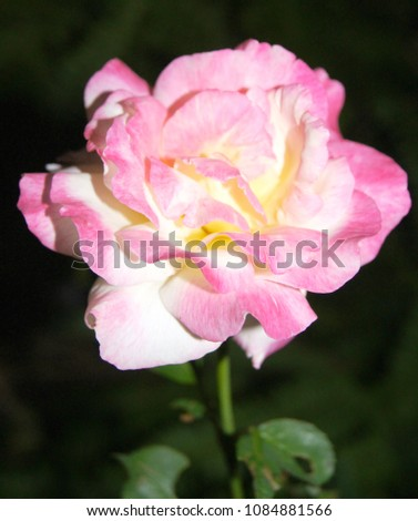 pink roses are the color that shows the romantic, gentle, gentle, sweet love, return and cheer., Rosa, Rosaceae. #1084881566