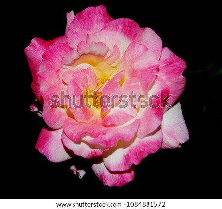 pink roses are the color that shows the romantic, gentle, gentle, sweet love, return and cheer., Rosa, Rosaceae. #1084881572
