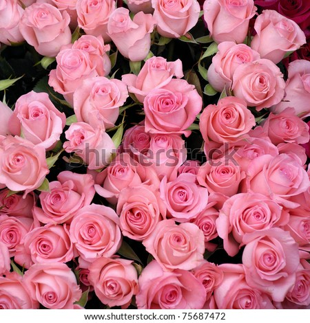 pink roses background of my floral backgrounds series