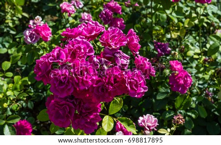 Pink roses bunch in nature. #698817895