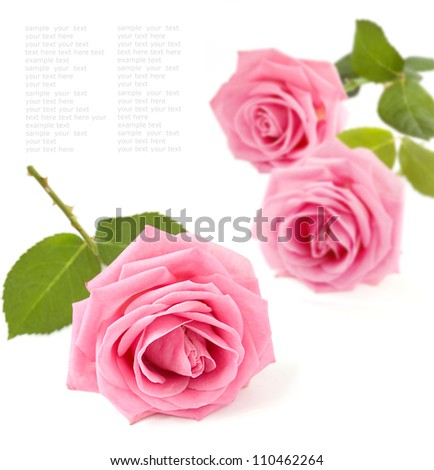Pink roses bunch isolated on white background with sample text