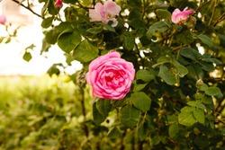 Pink Roses Bush