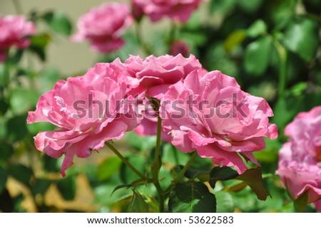 stock-photo-pink-roses-close-up-53622583.jpg