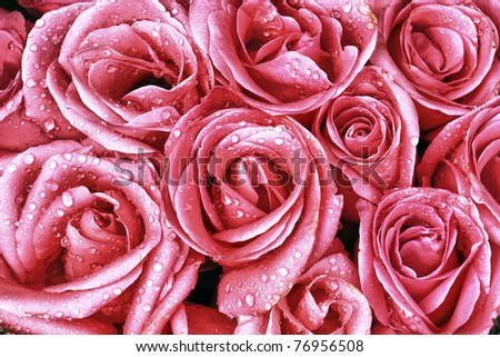 Pink roses closeup with water drops