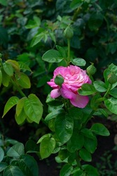 Pink roses flowers blooming in summer garden, beauty in nature
