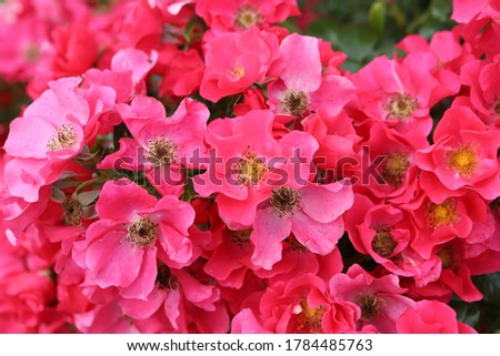 Pink roses (grade 'Stadt. Rom', Rosen Tantau, 2007) in Moscow garden. Buds, inflorescence of flower closeup. Summer nature. Postcard with pink rose. Roses blooming. Pink flowers, rose blossom. Photo Foto stock ©