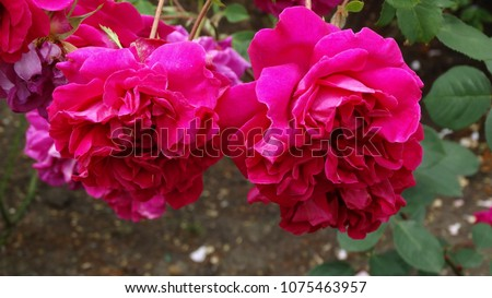 Pink Roses in Summer #1075463957