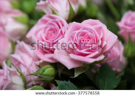 Pink roses in the garden #377578558
