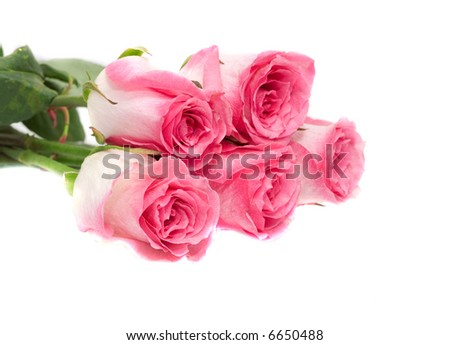 Pink roses. Isolation on white.
