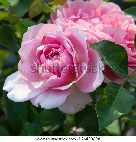 Pink Roses on a bush in a garden