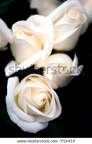 Pink roses on black background