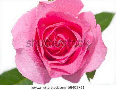 Pink roses on white background. - stock photo