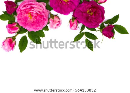 Pink roses (shrub rose) on a white background with space for text. Top view. Flat lay. Valentine decoration.  #564153832