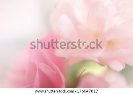 pink roses,  sweet soft color background