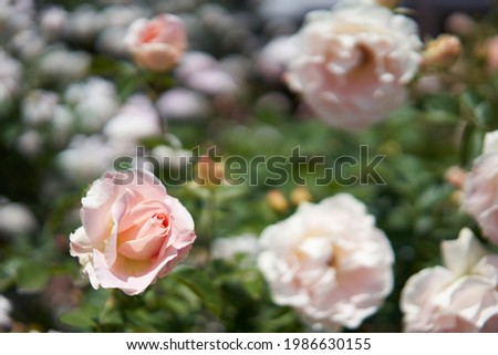 Pink roses that have begun to bloom beautifully                                Zdjęcia stock ©