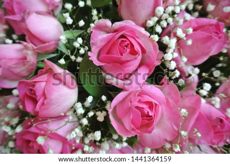 Beautiful Wallpaper Pink Rose Petals Isolated On White