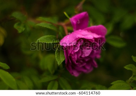 Pink roses with buds on a background of a green bush. Pink roses after rain. #604114760