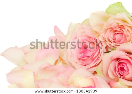pink roses with petals isolated on white background