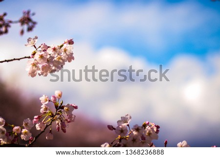 Pink Sakura background.pink Sakura in spring.