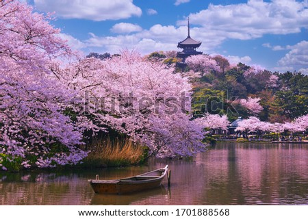Pink sakura flowers,Cherry blossoms pink,Sakura Cherry blossoming alley. Wonderful scenic park with rows of blooming cherry sakura trees and green lawn in spring, Foto stock ©