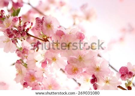 pink sakura flowers in the park