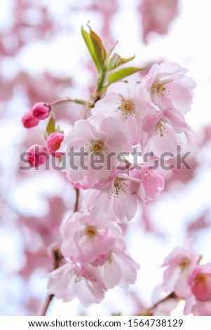 Pink sakura flowers. Sakura flowers close up.Spring blossom
