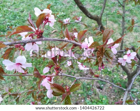 Pink Sakura, focus on sakura and leaves