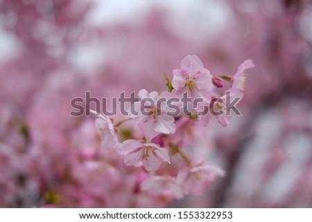 pink sakura in sakura park