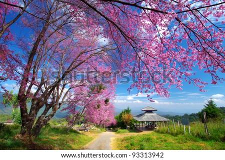 Pink sakura on road in thailand