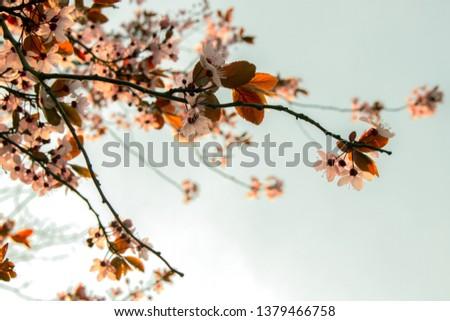 Pink sakura spring