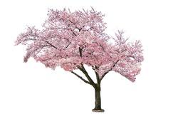 Pink sakura tree blooming on white background.