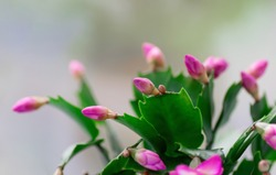 Pink Schlumbergera, Christmas cactus or Thanksgiving cactus on white background. Close-up. Copy space.