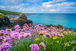 Pink sea thrift flowers on the stunningly beautiful coast in St. Ives, Cornwall, England, UK