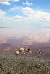 pink shell rapan sea lake water