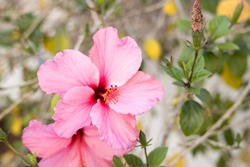 Pink shoeblackplant flower close up, China rose, Hibiscus rosa-sinensis, Chinese hibiscus, rose mallow, Hawaiian hibiscus