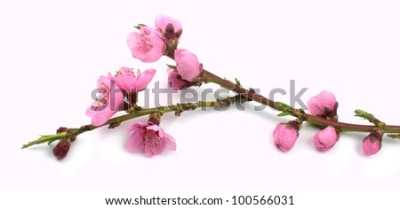Pink spring flowers branch.