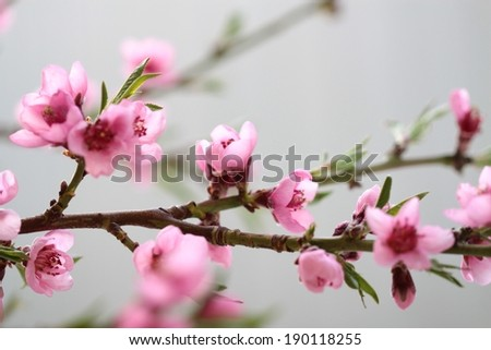 Pink spring flowers on branch.  ( Peach flowers )
