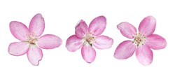 Pink spring single apple flowers isolated on white
