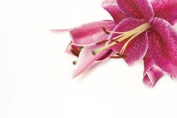 Pink stargazer lily on white background.