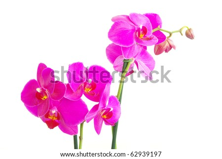 pink stem of orchids isolated on white