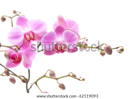 pink stripy phalaenopsis orchid isolated on white, horizontal composition